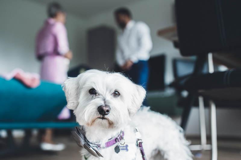 04 un petit chien blanc regarde le photographe pendant les préparatifs du mariage